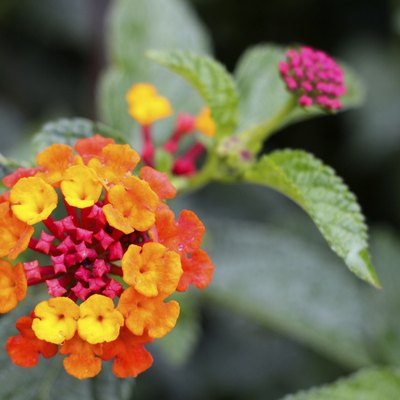 How to Get My Lantana to Bloom