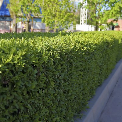 How to Find a Boxwood That Doesn't Smell Like Cat Urine