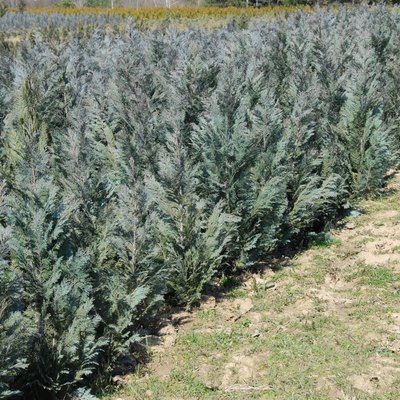 What Kind of Fertilizer to Use for Arborvitae