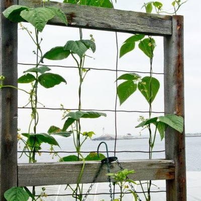 An old window frame that has been refashioned as a bean trellis in a seaside garden.
