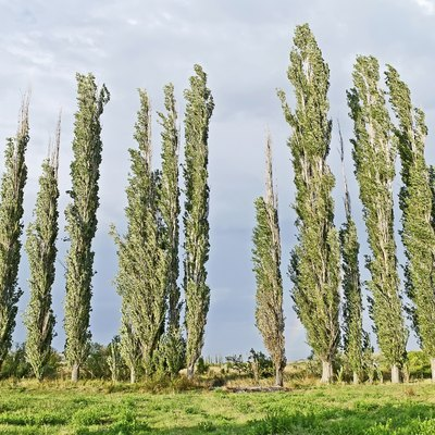 How to Plant Swedish Columnar Aspen