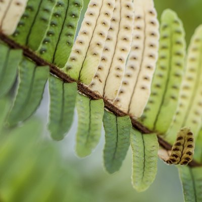 Dark Brown Spots on Underside of Fern Leaf