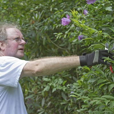 When Should You Prune a Rose of Sharon?