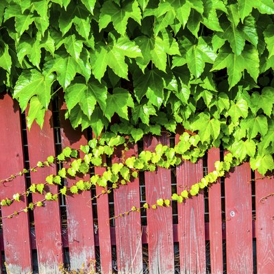 Red wooden wall with vine
