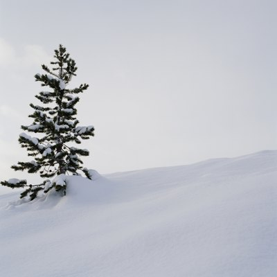 Does Cutting the Top off a Pine Tree Kill It?