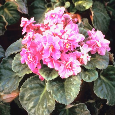 How to Get Rid of Gnats Around African Violets in the Home