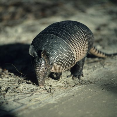 How to Drive an Armadillo Out of a Burrow