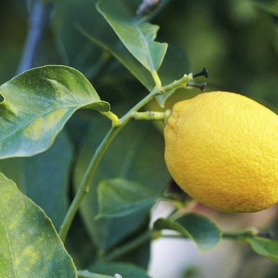 Animals That Eat Lemons or Lemon Tree Leaves