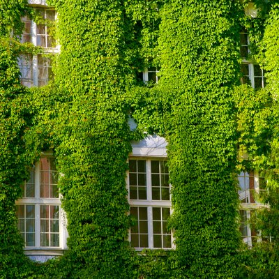 Green Virginia creeper around windows
