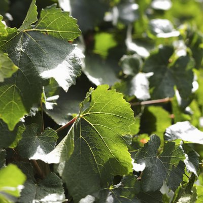 How to Care for an Ivy Plant That Is Dying