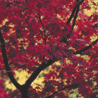 What Can Make Maple Trees Grow Faster?