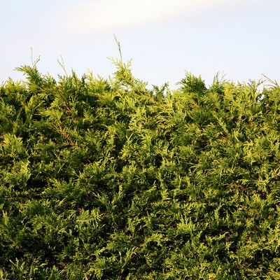 How to Revive a Dying Cedar Hedge