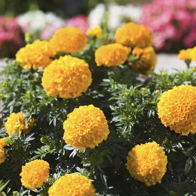 How Often Do You Water Marigolds?