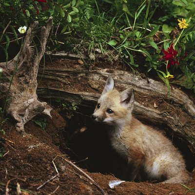 How to Get Rid of Fox Dens
