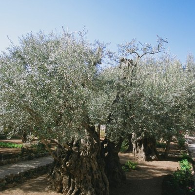 Are Roots a Problem With Olive Trees?