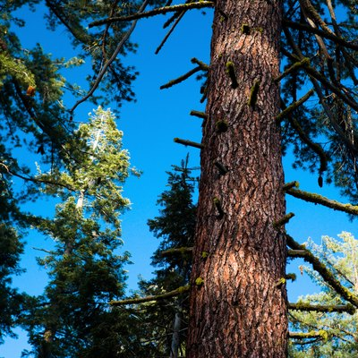 Redwood Vs. Pine