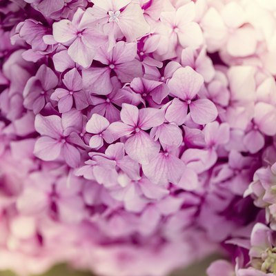 Flowers That Look Like Hydrangeas