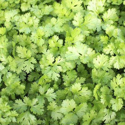 How to Prune Cilantro