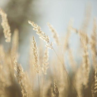 Annual vs. Perennial Rye Grass