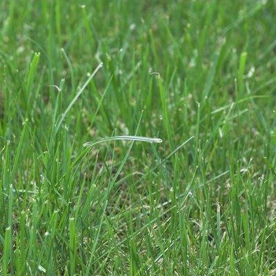 Ryegrasses Vs. Fescue