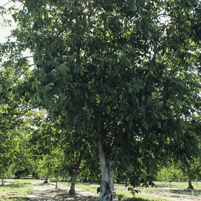 How Much Are Walnut Trees Worth?