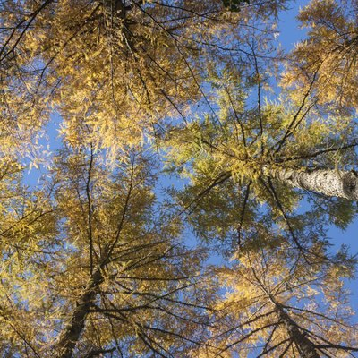 How to Care for a Weeping Larch