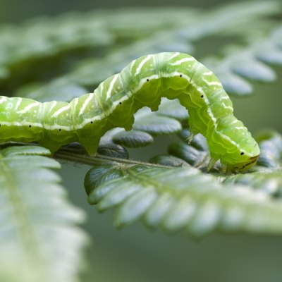 Caterpillars Are Eating My Fern Plants