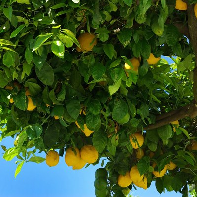 What Plants Can Be Used as a Companion for a Lemon Tree?