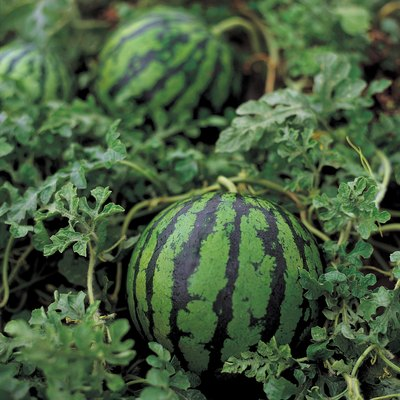What Causes Black Spots on Watermelons?