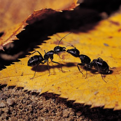 How to Control Ants With Hydrated Lime