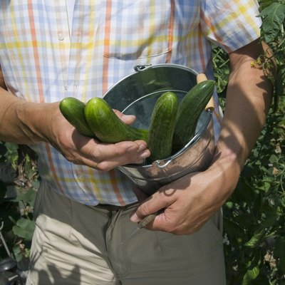 Parthenocarpic Cucumber Varieties