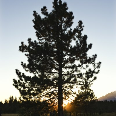 Facts on Sap Flow in Pine Trees
