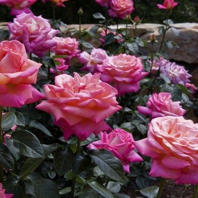 Rose Garden Companion Plants