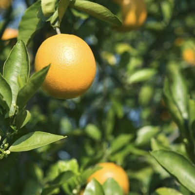Citrus Trees and Root Size Around Cement