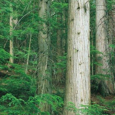 The Average pH of Soil Under Cedar Trees
