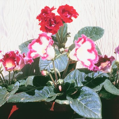 Homemade Fertilizers for African Violets