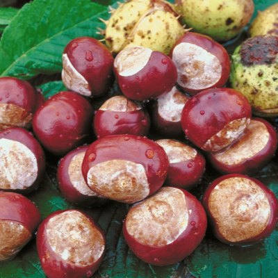 How to Identify Edible Chestnuts