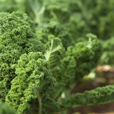 Is Kale a Perennial?