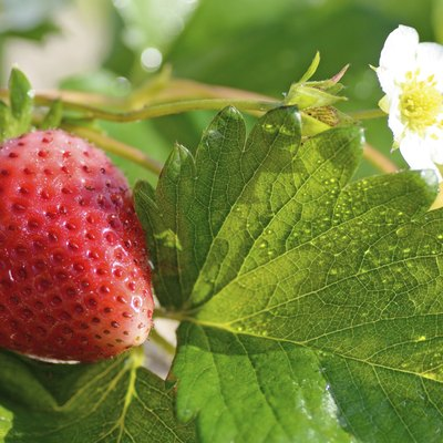 How to Plant Strawberries in Michigan
