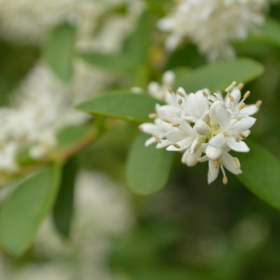 What Type of Fertilizer Do You Use on Ligustrum Shrubs?
