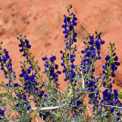 Desert Sage Plants