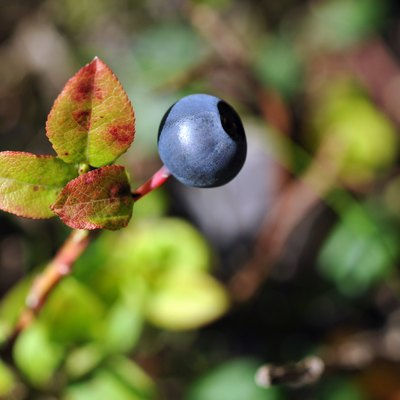 What Do Wild Blueberry Bushes Look Like?