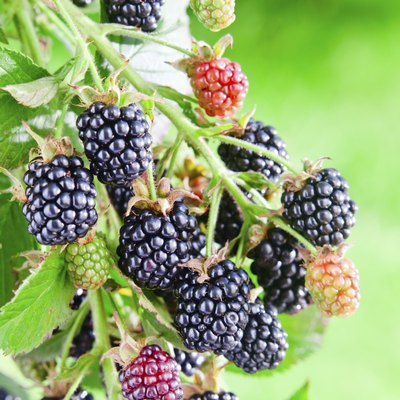 The Difference Between Blackberries and Marionberries