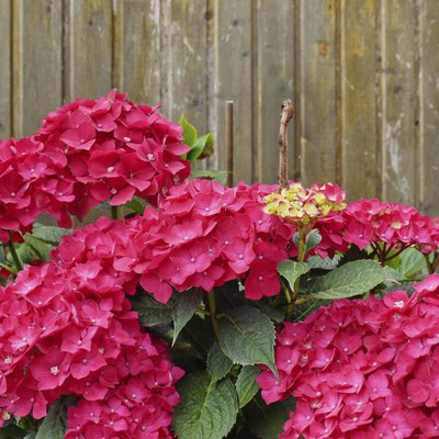 How to Make My Hydrangeas Red