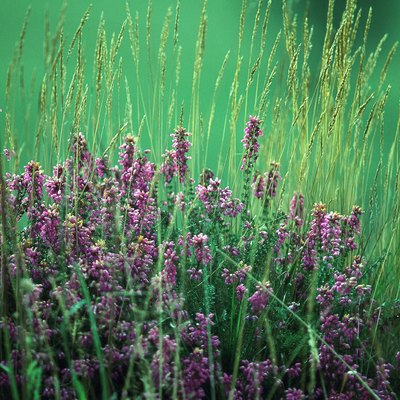 How to Care for a Potted Heather