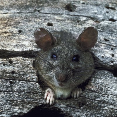 How to Get Rid of a Backyard Rat Infestation