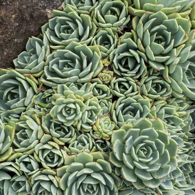How to Split Succulents