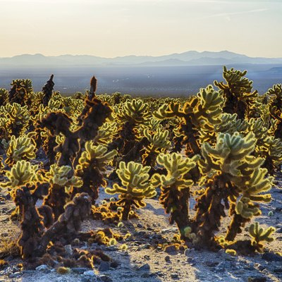 What Are the Dangers of a Jumping Cholla Cactus?
