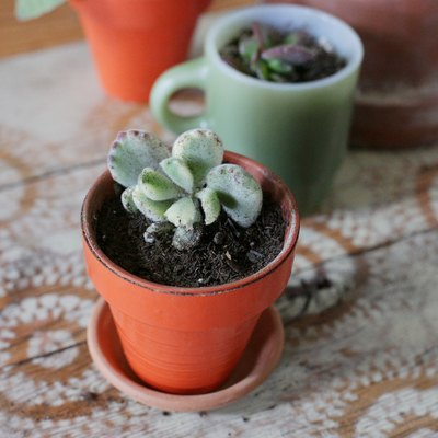 How to Care for Bear Paw Succulents