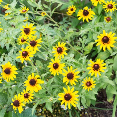 When to Plant Black-Eyed Susan Seeds